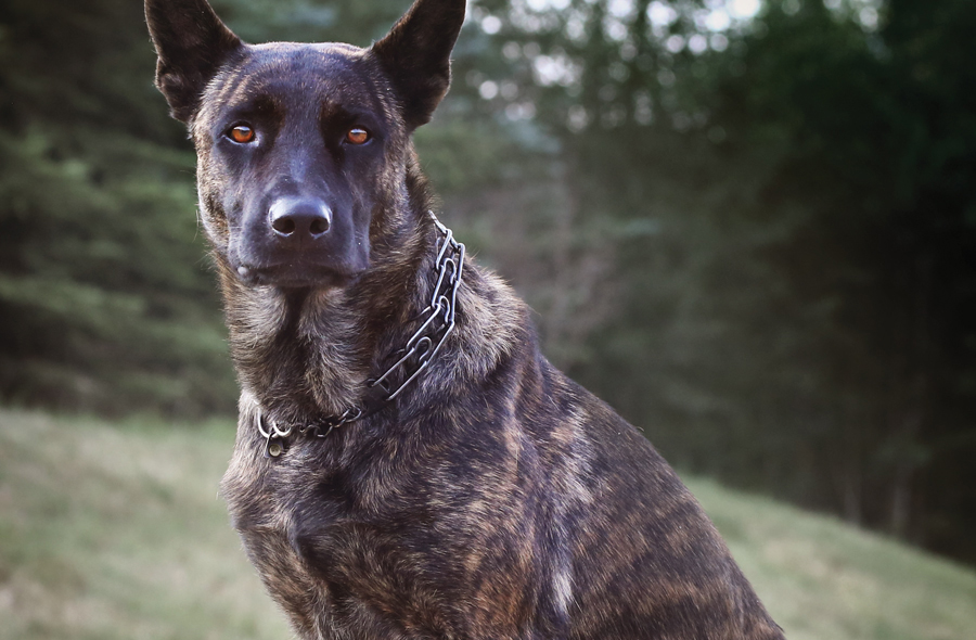 Svalinn An Elite Protection Dog Company With A Legacy Of
