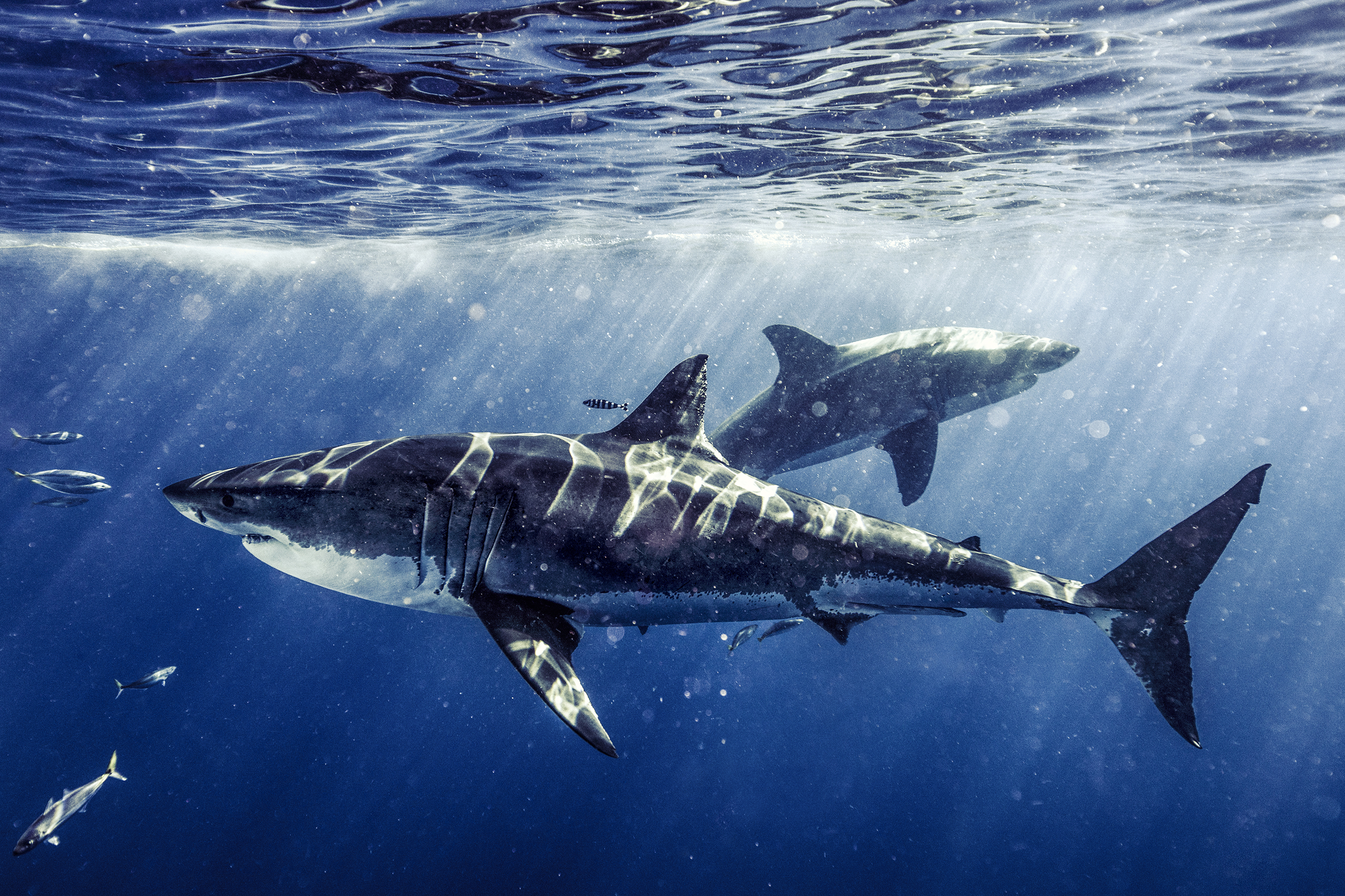 SHARKS. Face-to-Face with the Ocean's Endangered Predator