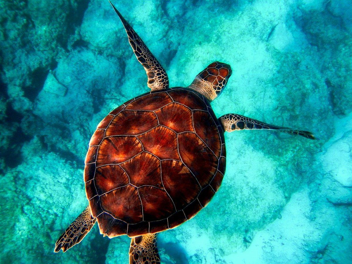 Wildlife Landing: Endangered Sea Turtles Visit Maldives Resort to Nest